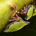Notogonioide Treehopper