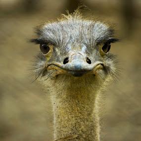 Happy Face (Common Ostrich) by Golam Kibria Sumon - Animals Birds ( bird, safari park, bangladesh, nature, park, common ostrich, birds, portrait, animal,  )