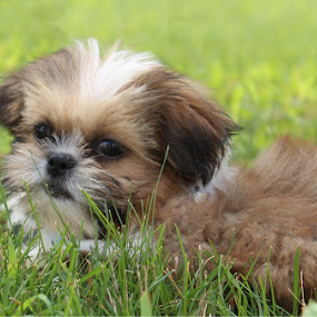by Missy Grove Horne - Animals - Dogs Puppies (  )
