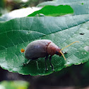Celtis leaf beetle