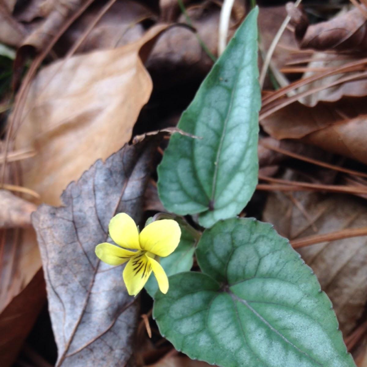 Halberd-leaf Yellow Violet