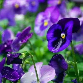 Autumn Pansie by Brandon Ferreira - Flowers Flower Gardens ( purple, autumn, purple flowers, pansies, wet, garden, rain, flower )