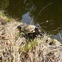 Rotwangen-Schmuchschildkröte