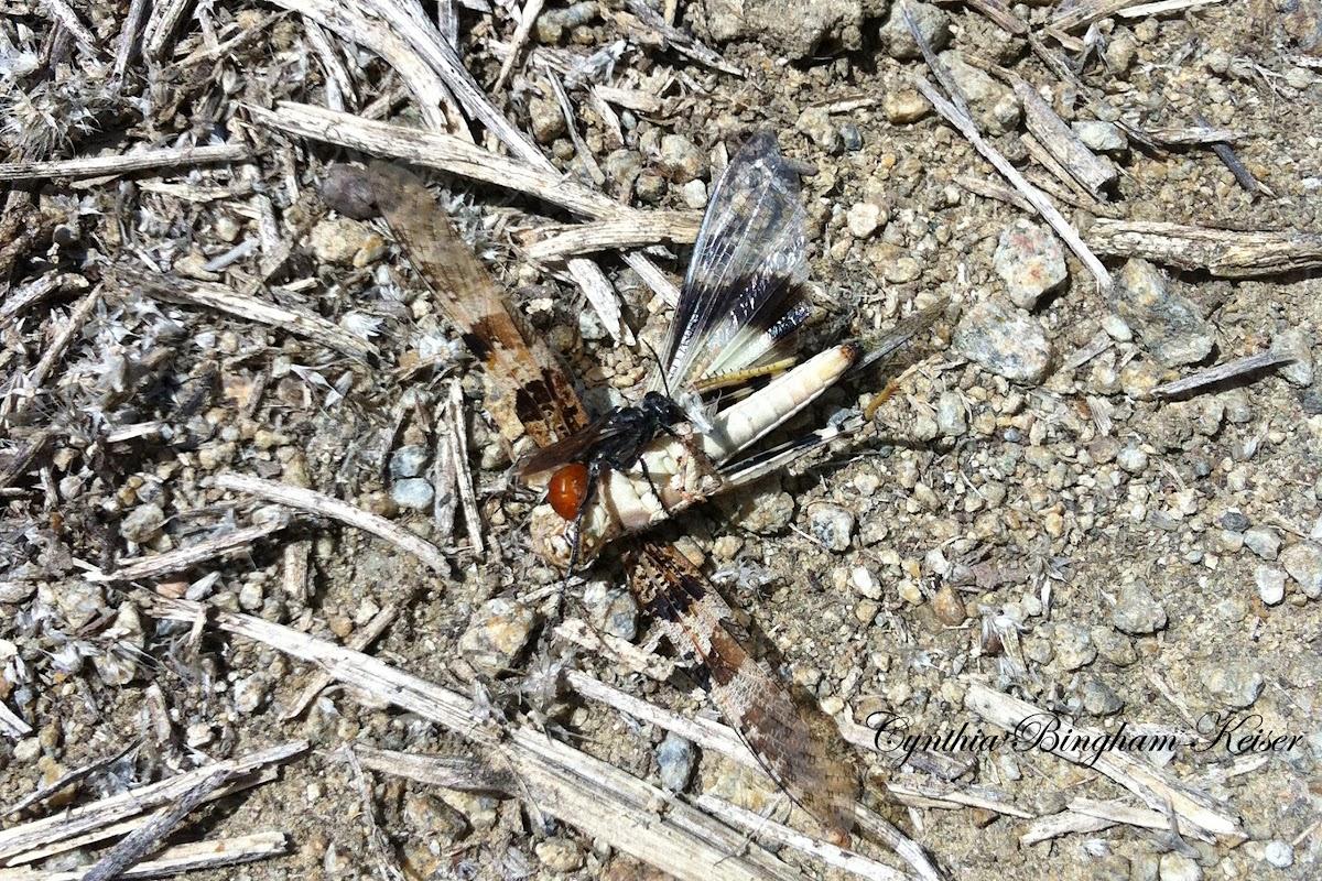 Burrowing Wasp and prey