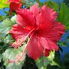 Hibiscus,செம்பருத்தி(Semparuthi)