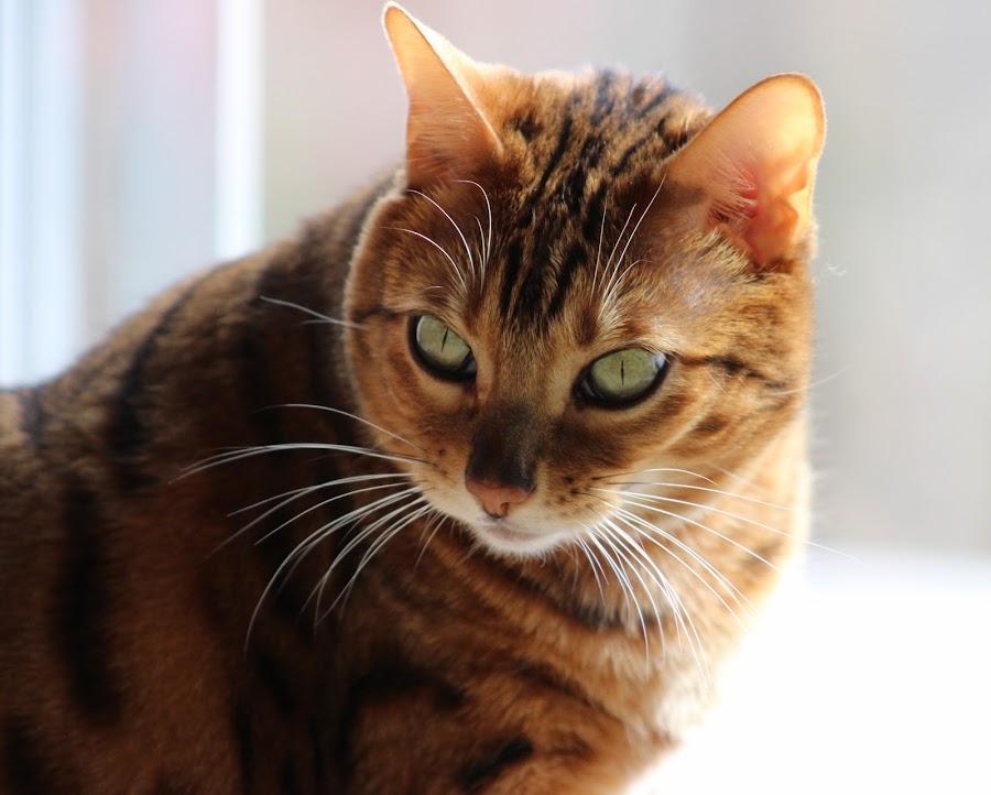 Bengal Cat by Lisa Holder - Animals - Cats Portraits ( cat, pet, feline, bengal, portrait )