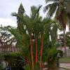 Red Lipstick Palm