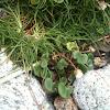 Common Scurvygrass