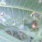 Hadda beetle.