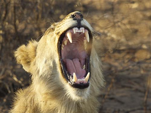 Say aah by Dawie Nolte - Animals Lions, Tigers & Big Cats ( big five, big cats, big 5, lions, teeth, roaring )