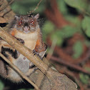 Particolored Flying Squirrel