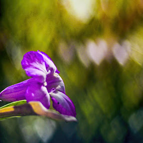 bokeh2 hati :D by Andi Irawan - Flowers Single Flower ( canon )