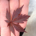 """Bloodgood"" Japanese maple"