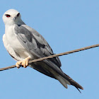 Black shouldered... Kite