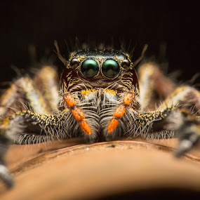 Spider portrait by Joyce Chang - Animals Insects & Spiders ( macro, spider, insect, portrait )
