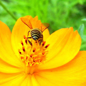 love by Vikas Jorwal - Flowers Flowers in the Wild ( bee, beautiful, insect, flower, yellow flower,  )