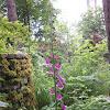 Common Foxglove