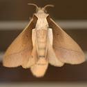 Stoermeriana aculeata (Lasiocampidae)
