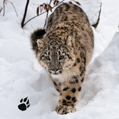 Snow Leopard Chase Simulator