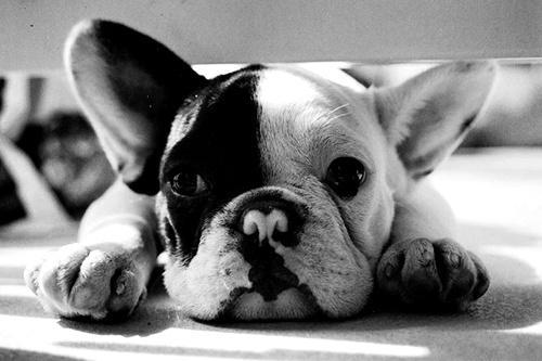 Francouzský Buldoček – Aplikace pro Android ve službě Google ... White Baby French Bulldog