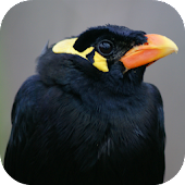 Annoying Talking Hill Myna