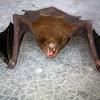 Lesser Asiatic Yellow Bat