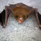 Lesser Asiatic Yellow Bat