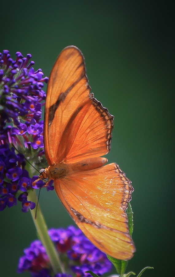 Brookside Gardens Butterfly Garden by Mark McLaughlin - Animals Insects & Spiders