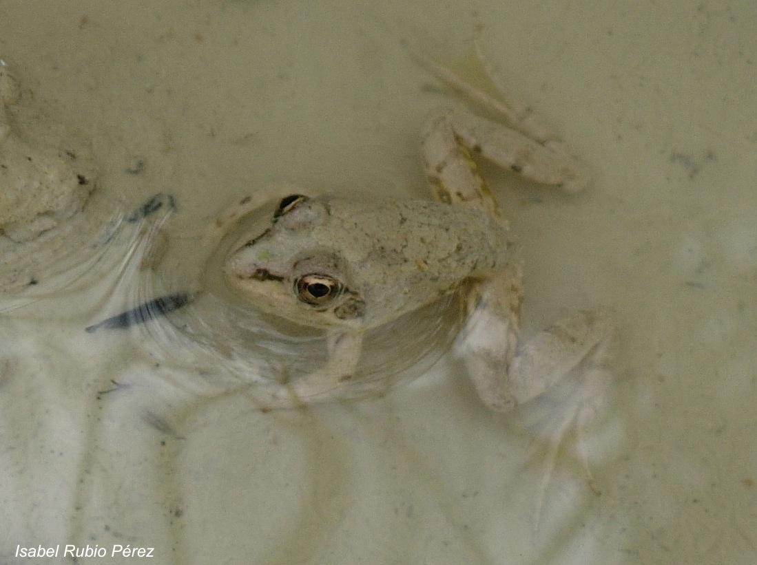 Rana común. Frog