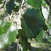 Álamo blanco. White Poplar