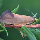 Oecophoridae Moth