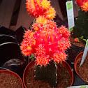 Moon cactus or Hibotan
