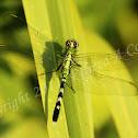 Dragonfly - Eastern Pondhawk