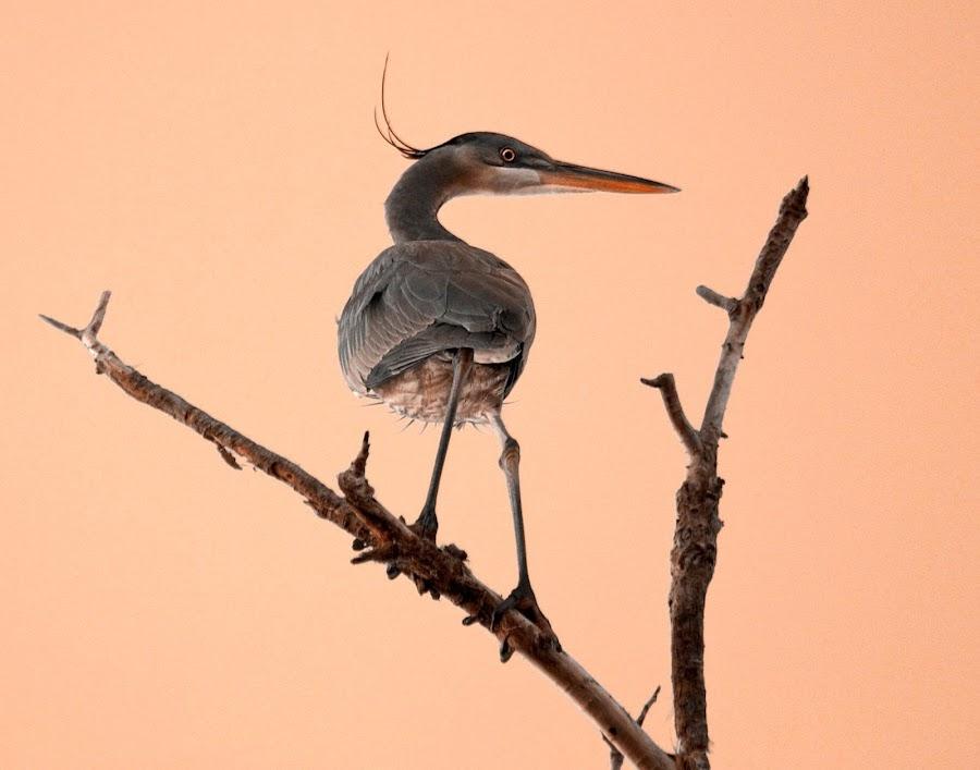 Heron Beauty by Sue Cullumber - Animals Birds ( bird, dawn, avian, pink, sunrise, heron, animal )