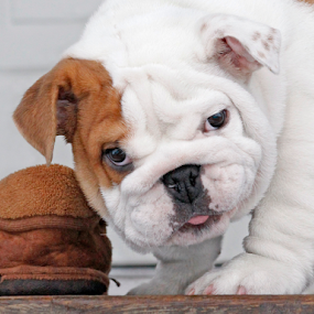 Bulldog baby by Mia Ikonen - Animals - Dogs Puppies ( english bulldog, happy, funny, finland, excited,  )