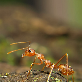 ANT by Deddy Setiawan - Animals Other