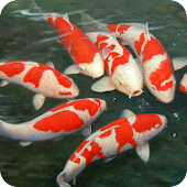 Koi fish live wallpaper