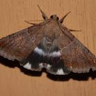 Semi-looper Moth
