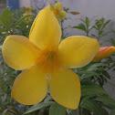 Allamanda (Yellow Bell, Golden Trumpet or Buttercup Flower)