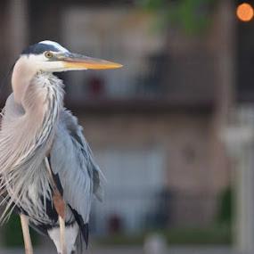 by Sidney Vowell - Animals Birds (  )