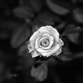 rose by Arief Wijayanto - Flowers Single Flower