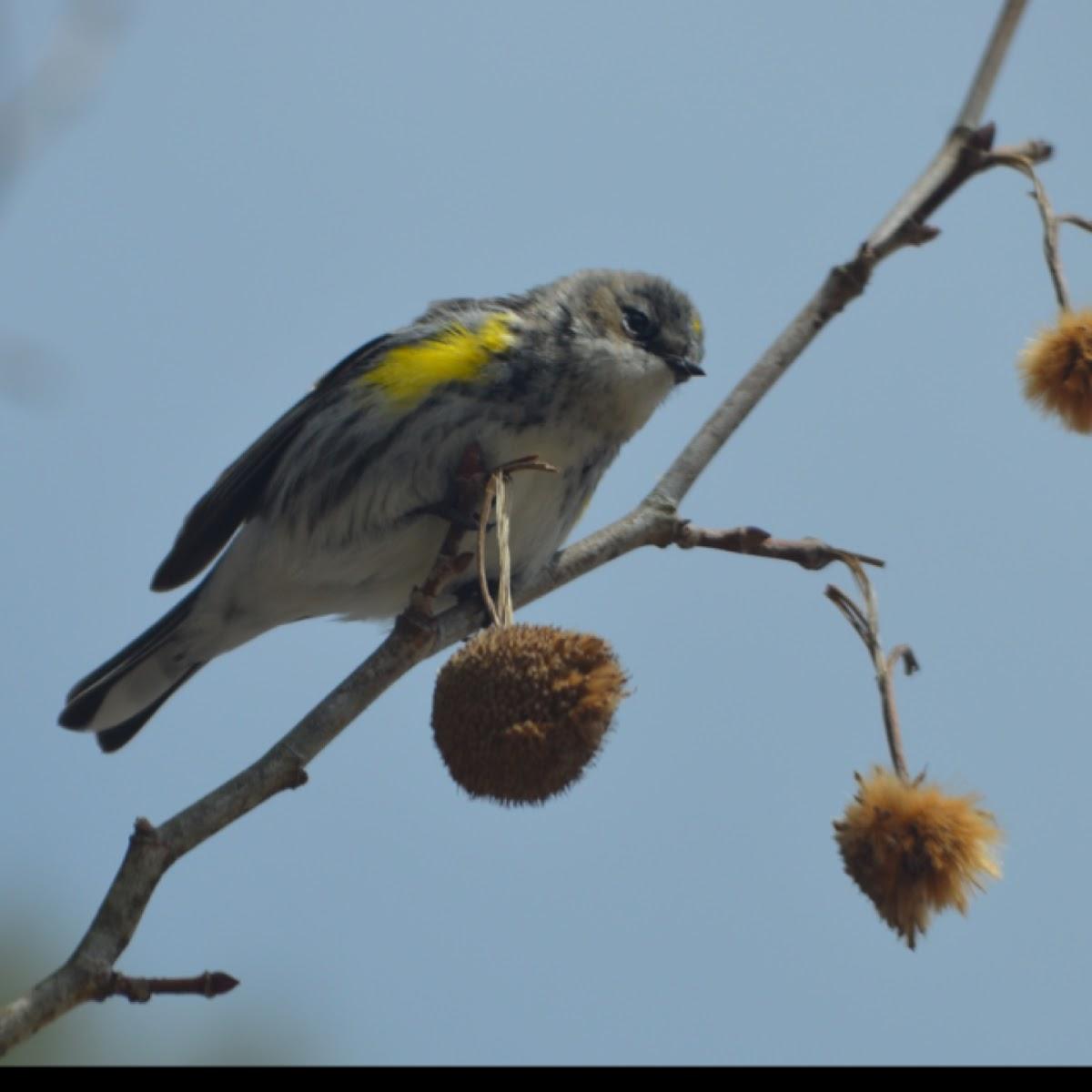 Yellow-rumpled warbler