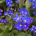 Wood forget-me-not)