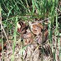 Europian viper