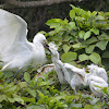 小白鷺 / Little Egret