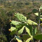 Nopales or Prickly Pear Cactus