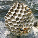 Mountain Paper Wasp