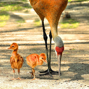 Sandhill Crane and Chicks by Betty Arnold - Animals Birds ( bird, sandhill crane, crane, chicks, animal,  )