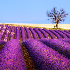 Lavender filed and old tree by Tomas Vocelka - Landscapes Prairies, Meadows & Fields ( smell, wheat, fragrance, old, europe, tourism, geomtery, travel, lavender, rows, field, provence, tree, france, alone, valensole )