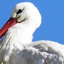 White Stork  Cegonha-branca